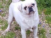 Lovely White Female Pug For Loving Home