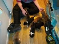 BASKET OF 7 PUPPIES FOR SALE READY TO GO NEW HOME AFTER 02/02/2017