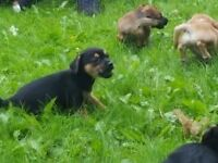 6 Jack-a-chi pups for sale