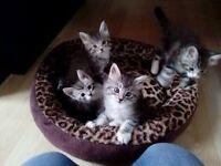 X Coon Kittens