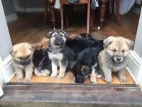Beautiful German Shepard X Japanese Akita X Rottweiler puppies