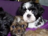 Litter of 5 Shih Tzu Puppies **Non-Malting** Great with kids and other pets **ready to go**
