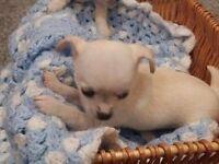 Two pedigree Chihuahua Puppys