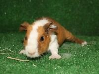 Pair of beautiful guinea pig babies for rehoming