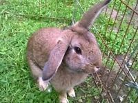 7 Month Male Rabbit
