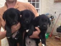 Collie labrador pups