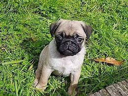 Sale READY NOW ! Superb KC Reg Quality Pug Pups