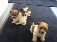 Shih tzu pups 9 weeks old £150 ready to go