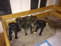 Patterjacks, Jack Russell x Patterdale, 2 Girls remaining