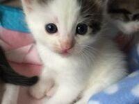 Beautiful cross Ragdoll kitten