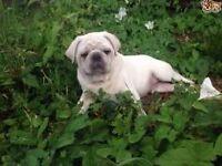 White Pug boy KC reg