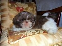 Kind and gentle Shih Tzu boy looking for his forever home