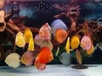 discus tropical tank fish, aquarium fish