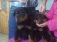 Big Rottweiler puppies