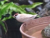 Diamond firetail finch. Cherry finches. gouldian finches.