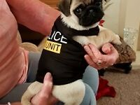 male pug Puppy Ready to go now
