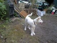 Akita Male 7 months old still a pup Pure White. Lovely dog reluctant sale genuine reason. Good homes