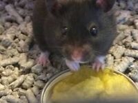 Black Short Haired Male Hamster 10 Weeks & Cage