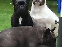 french bulldog pups ready to be viewed