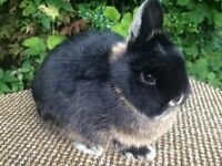 beautiful Netherland dwarf baby rabbit, 10 weeks old, needs a new home