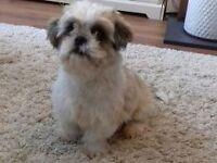 Male puppy shih tzu for sale