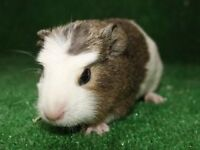 Beautiful baby guinea pigs for rehoming