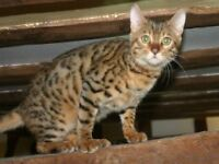 7 year old Bengal Cat...Free to loving home.