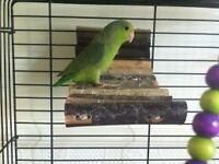 One male parrotlet for sale