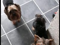 Yorkshire Terriers For Sale Boy and Girl
