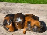 Two Stunning American Crested Boars