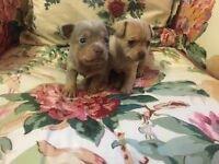 4 smooth coat chihuahua puppies
