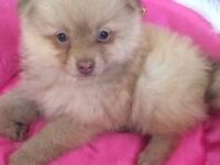 Beautiful Pomeranian Girl