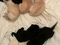 2 left labrador puppies KC