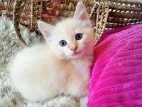 *READY NOW!* Adorable Fluffy Kittens From Pedigree Parents