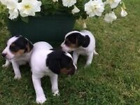 **FOR SALE** Jack Russell Pups