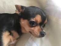 Beautiful Tcup Chihuahua Dog For Sale