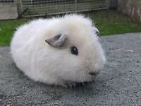 one male rex guinea pig for sale+