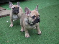 Beautiful French Bulldogs for Sale.