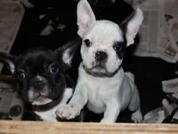 Beautiful Last 2 French Bulldog Puppies for Sale!