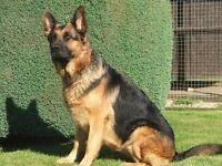 German shepherd bitch
