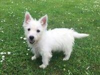 westie terrier ( girl)