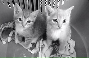 RESCUE MUMMA CAT & KITTENS Annandale Leichhardt Area Preview