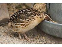 various quail