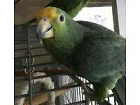 Amazon parrot missing