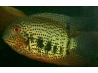 Heros Notatus Cichlid (Green Spotted Severum fish)
