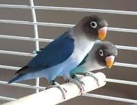 Blue Black Masked Lovebird