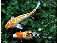 Pond Fish For Sale!