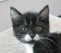 """Young Female Cat - Domestic Short Hair: """"Macey (+ Jacey)"""""""