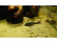 Young Bristlenose Catfish Ancistrus 3-4 cm ALGAE TROPICAL FISH
