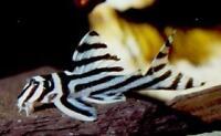 Wanted: Zebra Pleco Fry